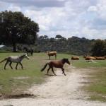 SMFY-koeien-en-paarden-in-begen-San-Agustin